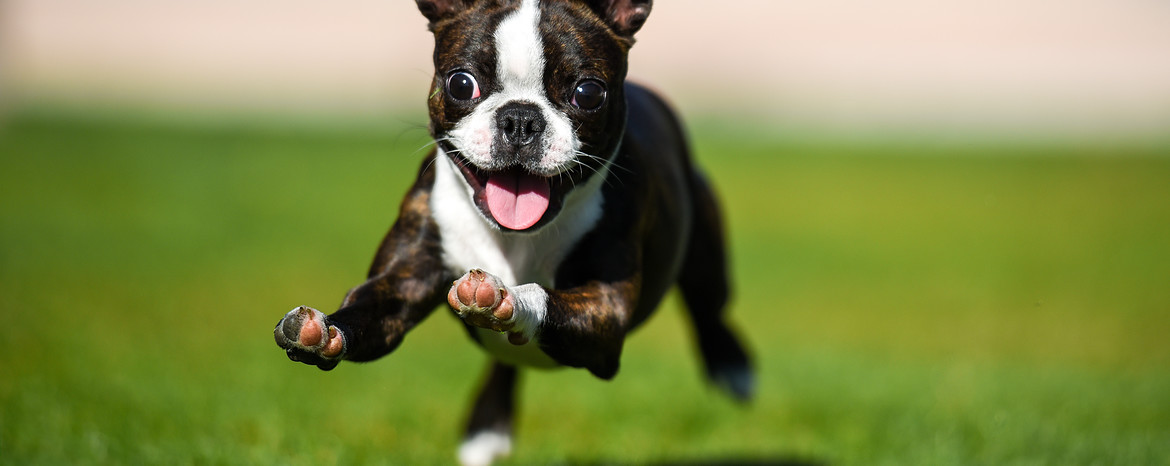 Boston Terrier Puppies Dogs Pets Routescom