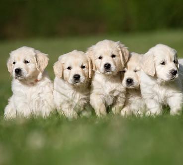 Bichon Frise Puppies | Dogs | Pets | Routes com