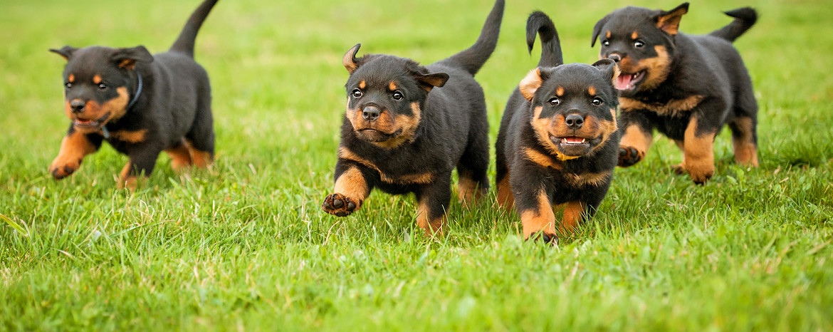 Rottweiler Puppies Dogs Pets Routescom