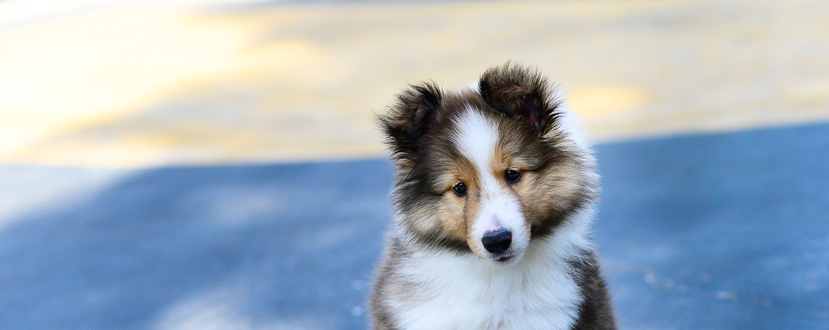 Sheltie Puppies Dogs Pets Routescom
