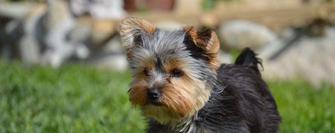 Teacup Yorkie Dogs Pets Routescom
