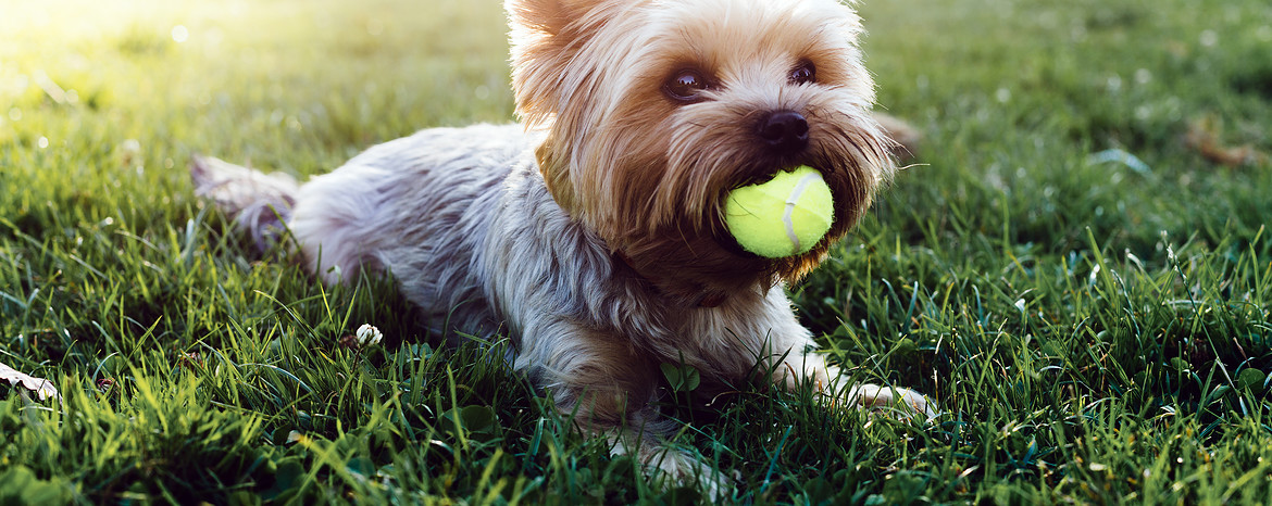 Yorkies Dogs Pets Routescom